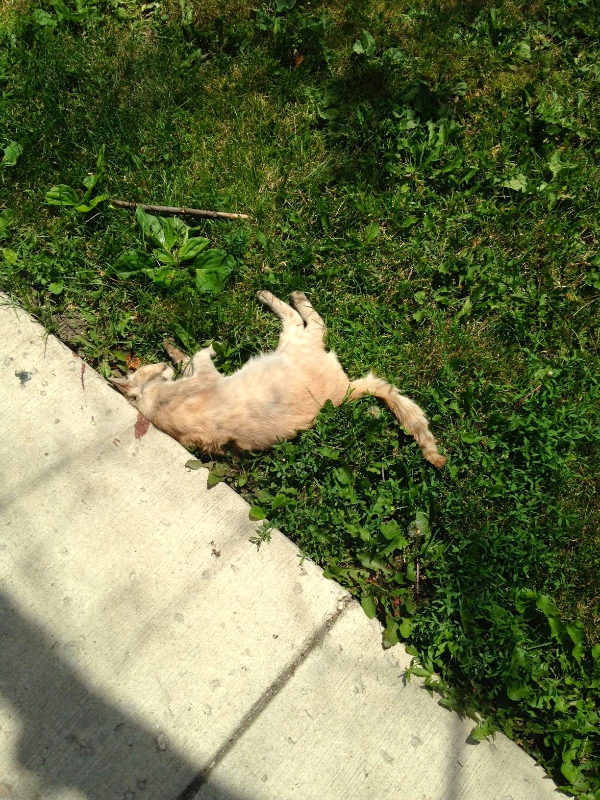RIP Gringa, Another Dead Cat Found in Avondale - Cats In ...